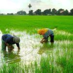 foto-ilustrasi-sawah-petani