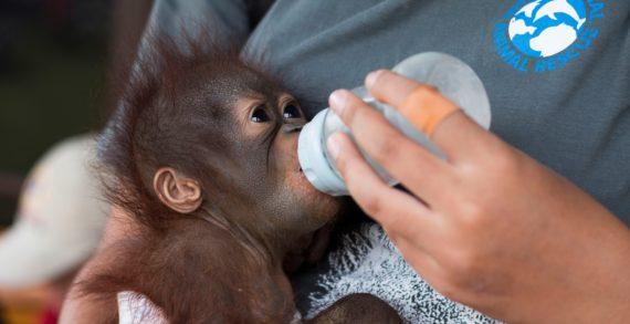 IAR dan BKSDA Selamatkan Empat Orangutan