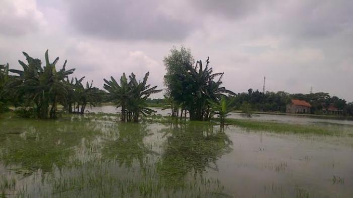 Tanggul Jebol, Ratusan Hektar Lahan Pertanian Terancam Gagal Panen