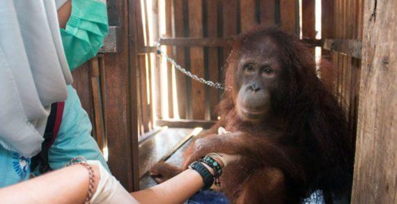 Dua Individu Orangutan Kembali Diselamatkan