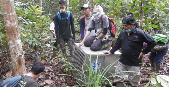 Tiga Ekor Orangutan Dilepasliarkan di TNGP