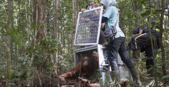 Dua Individu Orangutan Dilepasliarkan ke Taman Nasional Bukit Baka Bukit Raya
