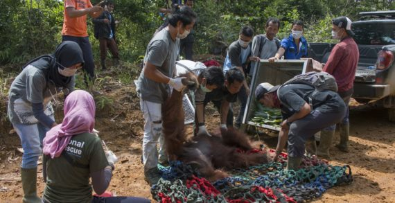 Orangutan Kembali Dilepasliarkan