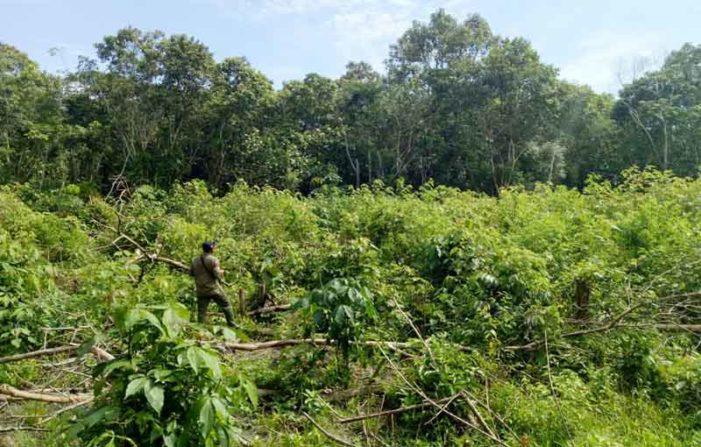 BKSDA Temukan Tiga Sarang Orangutan di KKU