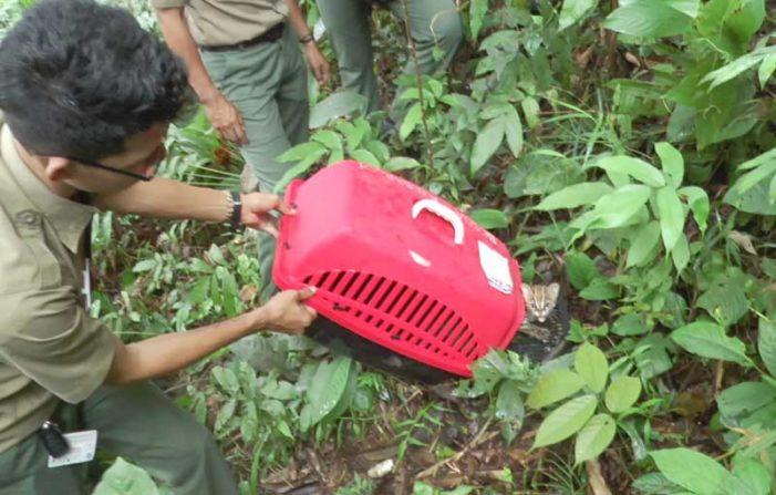 BKSDA KKU Lepasliarkan Kucing Hutan