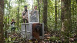 Tiga Orangutan dilepasliarkan Dalam Kondisi Sehat