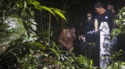 Abun, Pinoh, Laksmi dilepaskan ke Hutan