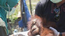 Orangutan Betina Diselamatkan IAR dan BKSDA