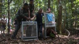 Pelepasliaran Empat Individu Orangutan di Taman Nasional Bukit Baka Bukit Raya