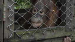 Satu Undividu Orangutan Diserahkan Pihak Sinka Zoo