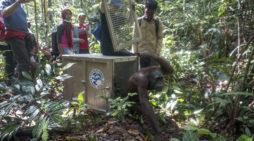 Orangutan dan Lima Ekor Kukang dilepasliarkan di Hutan Lindung Gunung Tarak