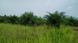 Tanaman Sawit di Seponti Jaya Rugikan Petani