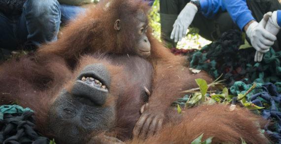 Mama Ris dan Baby Riska di Lepasliarkan di Hutan Sentap