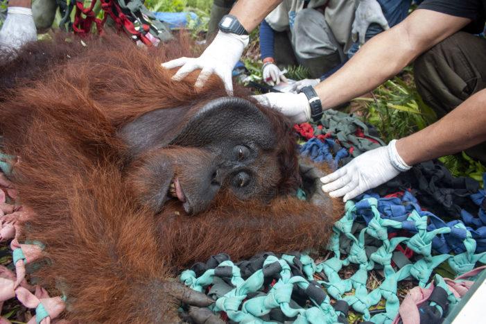 Orangutan 60 Kg Ditranslokasi Ke Gunung Palung