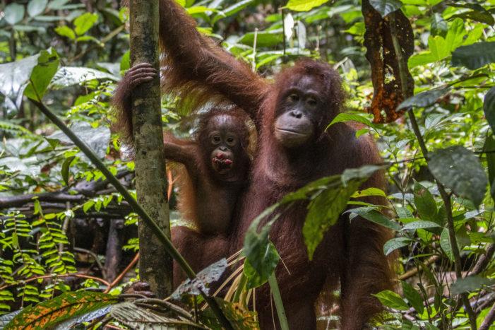 Enam Orangutan Dilepasliarkan