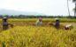 Harga Beras Petani Ketapang Tinggi, PSO Bulog Tidak Berjalan